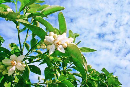 citricos: Flores c�tricos sobre fondo de cielo.  Foto de archivo