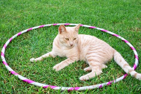 Tawny cat on green grass in hoola hoop. photo
