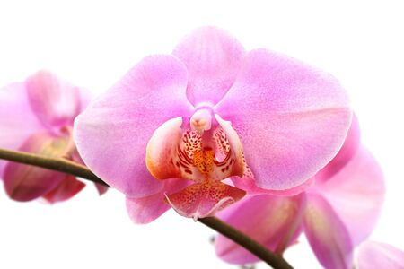Pink orchid isolated on white background. photo