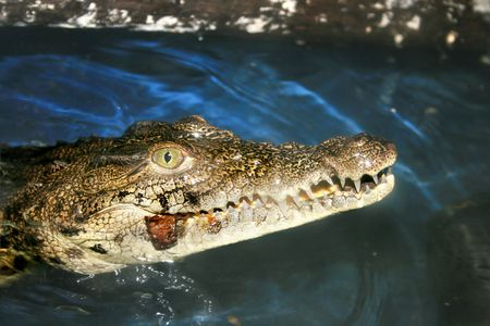 Crocodile eating an insect in the zoo. Stock Photo - 7511484