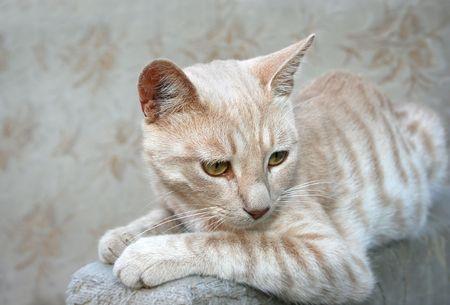 tawny: Tawny cat sitting on sofa.
