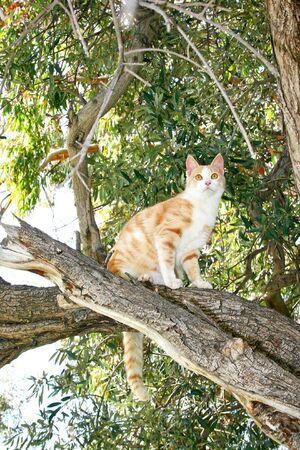 tawny: Tawny cat on eucalyptus tree. Stock Photo