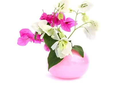bougainvillea flowers: Bougainvillea pink and white flowers in vase isolated on white background.
