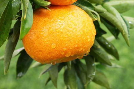 Ripe tangerine with rain drops on the tree. Stock Photo - 7629091