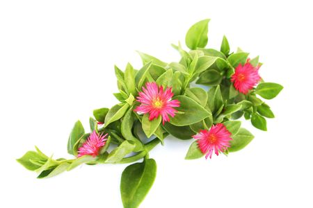 Pink flowers isolated on white background. Stock Photo