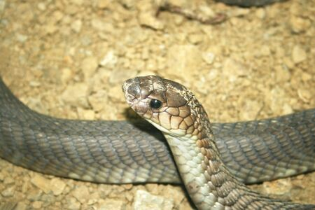 snake head: Gray  snake head close up picture. Stock Photo