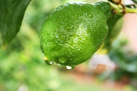 Lemon with rain drops on the tree. photo