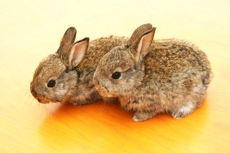 Two young rabbits on yellow table. photo