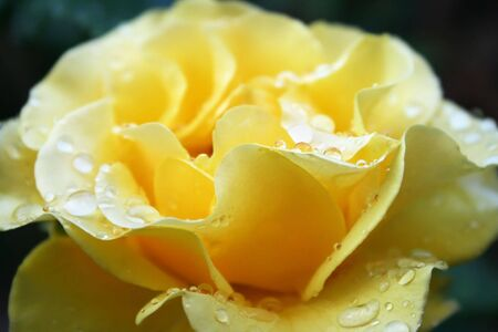 Yellow rose with drops close up picture. photo