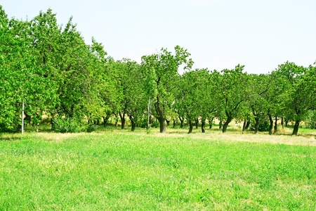 Apricot tree orchard in Armenia. photo