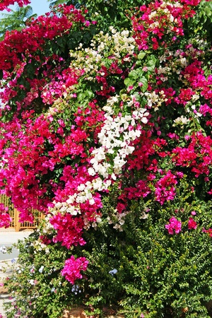 Colorful bougainvillea flowers  in tropical garden. photo