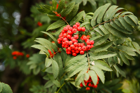 Red ripe rowan berry tree branch close up picture.