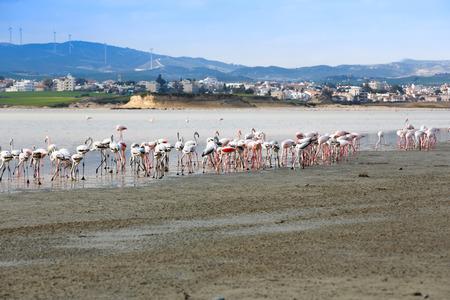 Group of flamingos at the Salk lake in Larnaca, Cyprus.