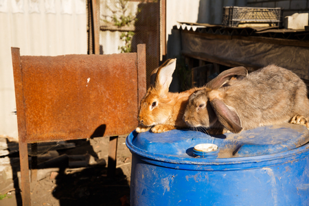 Two brown and gray rabbits on the blue barrel in the farm. Banque d'images