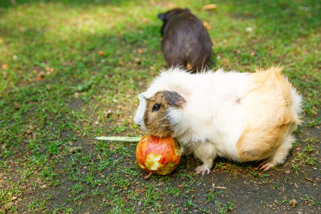 Guinea pigs eating an apple in the garden. Imagens