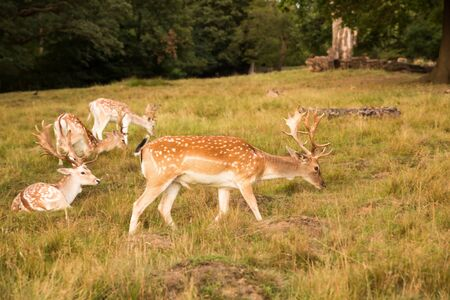 Group of red spotted deers in Richmond park, London.