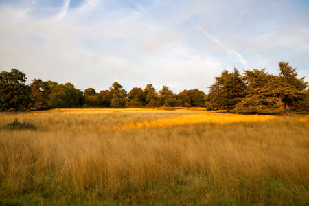 Landscape with trees and golden field in sunny summer day in Richmond Park, London, UK.