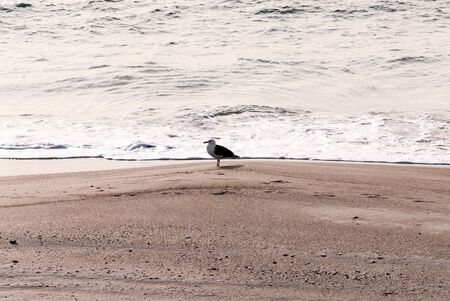 A seagull on a winters beach in North carolina. the waves are rolling in.
