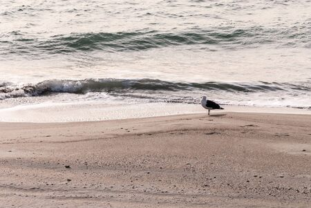 A winter scene of a seagull on a private beach in North carolina. as the waves are rolling in.