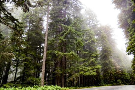 Tall Redwood trees shrouded in fog