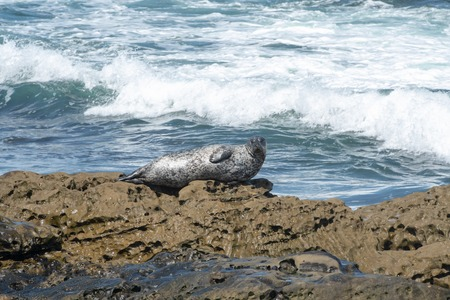 Harbor Seals basking on the rocks