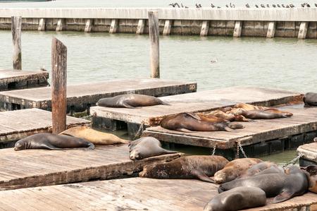 Sea Lions basking on a pier 版權商用圖片