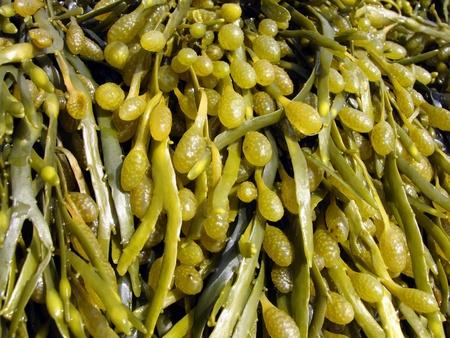 alga marina: Las algas pardas, fucus