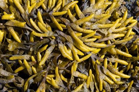 Brown algae, fucus photo