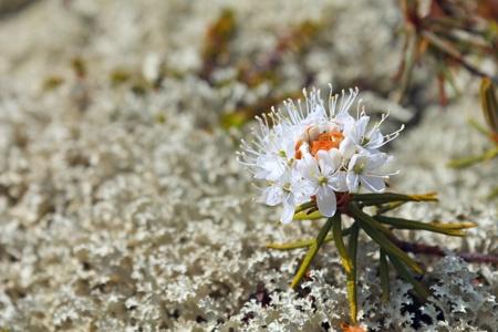 palustre: Rhododendron tomentosum (syn. Ledum palustre)
