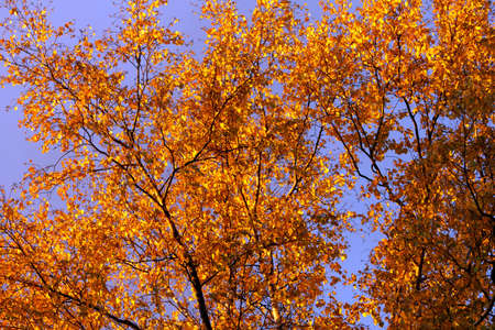 frondage: Autumn leaves of birch at sunset Stock Photo