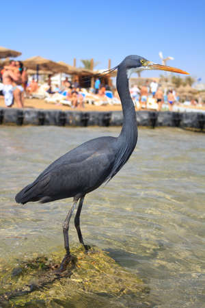 naama bay: Black Heron on the beach in Naama Bay in Sharm El Sheikh, Egypt Stock Photo