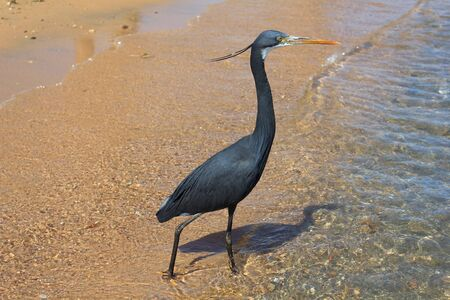 naama bay: Little blue heron  Egretta caerulea  on the beach in Naama Bay in Sharm El Sheikh, Egypt