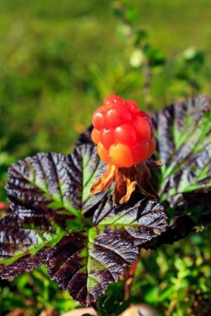 chicout�: Chicout� m�rs dans la nature Rubus chamaemorus