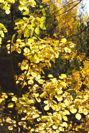 Yellow autumn aspen tree with sun photo
