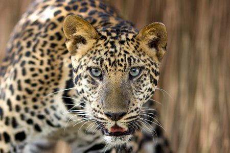 Close-up of portrait leopard photo