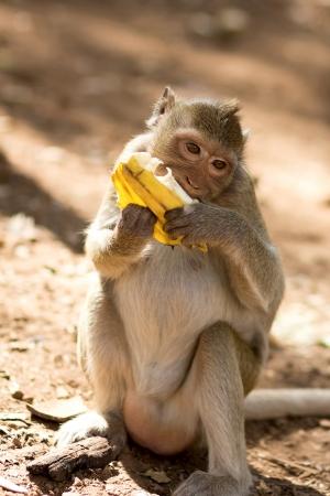 Monkey with appetite eats banana, Thailand