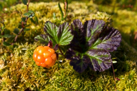 Ripe cloudberry in nature  Rubus chamaemorus