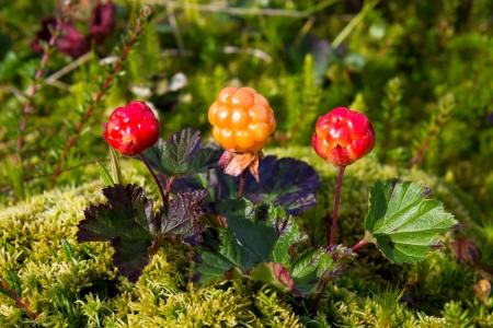 chicouté: Chicout? m?rs dans la nature Rubus chamaemorus