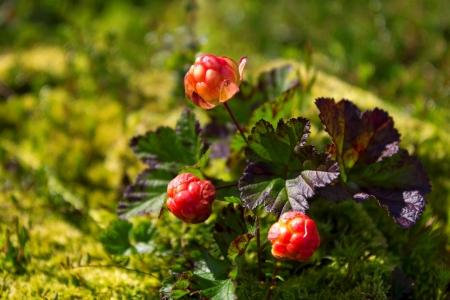 rubus chamaemorus: Mora de los pantanos madura en la naturaleza Rubus chamaemorus