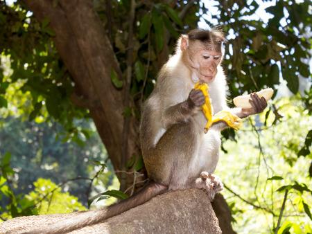 Monkey eating a banana, Goa, India photo