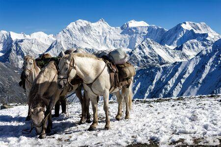 Steeds on the pass Karaturek in the background Mount Belukha, Altai, Russia