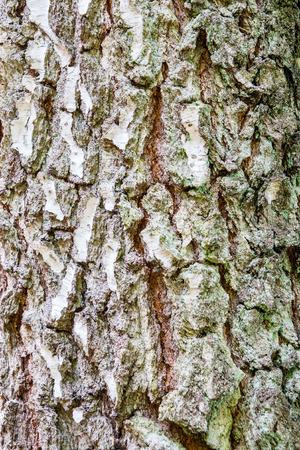High resolution texture of birch tree bark. photo