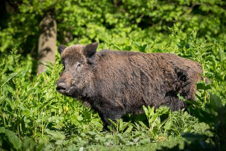 Wild Boar in the woods Netherlands Stock Photo