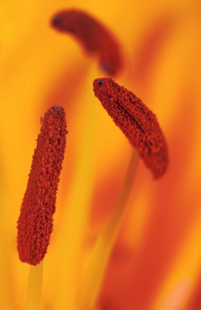 Close up of stamens of the yellow lily. photo