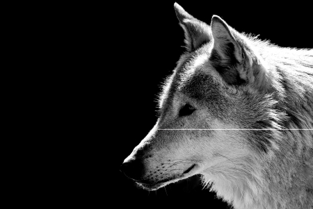 gray wolf black and white: Wolf
