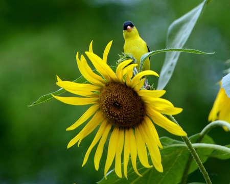 goldfinch: Goldfinch & Sunflower Stock Photo
