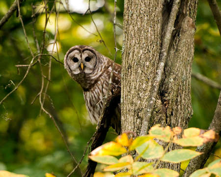 peaking: Owl At Muscatatuck