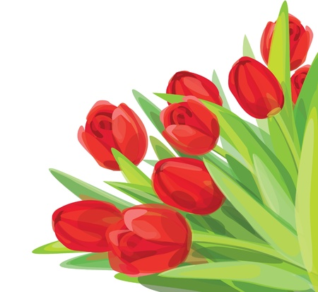 tulips isolated on white background: Red tulips vector. Illustration