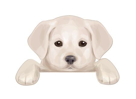 perro labrador: lindo cachorro escondido en blanco
