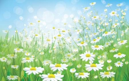 camomiles macro: Spring background with white daisies  Illustration